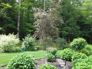 Strafford, NH Landscape Gallery - Ornamental Tree with other plants