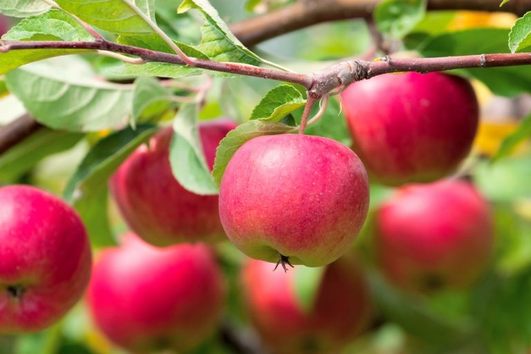 Backyard Apple Tree