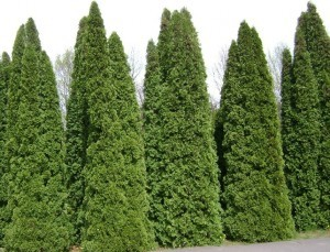 Selecting Shrubs American-arborvitae