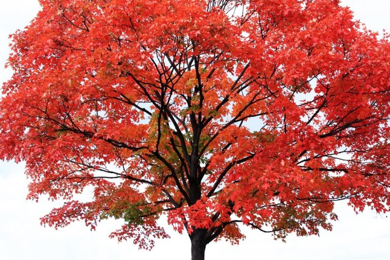 Planting a Tree - Red Maple Tree